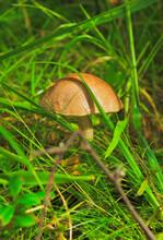 Boletus Mushroom Close. Mushroom Picking In The Karelian Forest In Russia.