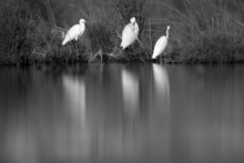 Little Egrets At Asker Marsh In The Mroning Hours, Bahrain