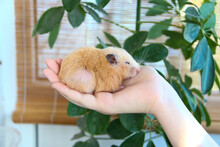 Syrian Hamster Sleeping On A Female Hand On The Background Of Domestic Plants