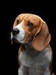 portrait on a dark background. Funny Beagle on black