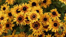 Rudbeckia Hirta 'Sputnik 'Kelvedon Star' Or Black-eyed Susan With Yellow Ray Florets Streaked With Dark Brown Decorating A Garden Border