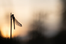 Dragonfly On The Sunset