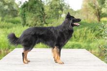 Dog Portrait Bohemian Shepherd (chodsky Pes) In The Nature