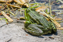 Beautiful Green Frog Sitting On The Shore Of The Pond