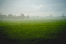 Selective Focus Of Rain With Blurred Green Rice Field And Sky Background.