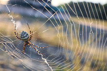 Argiope Spider Spinning Its Cobweb In Countryside, Closeup