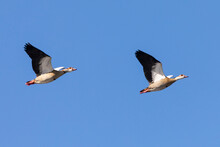 Pair Of Egyptian Geese (Alopochen Aegyptiaca) Flying At Sunset
