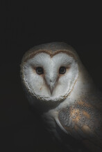 Owl With Fluffy Plumage On Black Background