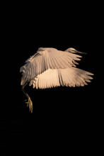 Great Egret With Spread Wings Flying On Black Background