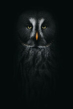 Wood Owl With Ornamental Plumage In Darkness