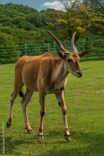 Big antelope with horns on green grass meadow in summer sunny day