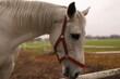 Koń, biały koń, zwierzęta, głowa konia
