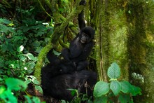 Mountain Gorilla In The Mgahinga National Park. Gorila Have A Rest In The Forest. Rare Wild Animal In The Uganda. Walking In Tha Rain Forest.
