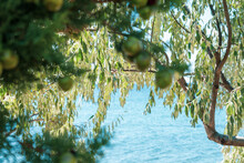 Pine Tree Branches With Cypress Cones On It Near The Seaside