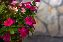 Pink Begonia Flowers Close-up On A Stone Wall Background With Place For Text