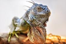 A Big Iguana Lizard Sitting On A Tree.