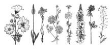 Althaea Clover Trefoil Capsella Mullein Verbascum Cichorium Chicory Endive Plantago Or Helichrysum Arenarium Or Dwarf Everlast Or Immortelle. Botanical Plant Illustration. Hand Drawn Floral Bouquets