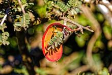 Bright Red And Orange Seedpod On Tree