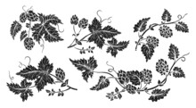 Hop Plant Branch Black Glyph Sketch Style Set. Hand Drawn Hops With Leaves And Cones Angular Herb Design Drawn Engraving. Sketches For Beer Packing Design Logo, Label, Emblem, Pattern
