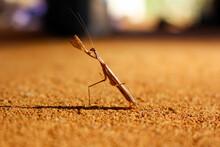 Brown Praying Mantis In Attack Position