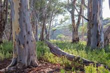 Morning Light In Australian Bushland