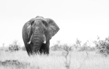 African Elephant Bull With Big Tusks Eating Alongside The Road In The Kruger Park, South Africa