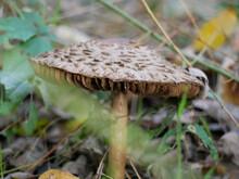 Selective Closeup Of Macrolepiota Mushroom In A Forest