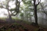 Fototapeta Londyn - Misty forest. Foggy forest in a gloomy landscape