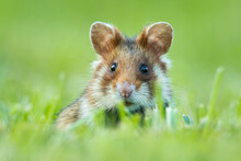 European Hamster (Cricetus Cricetus), With A Beautiful Green Coloured Background. An Amazing Endangered Mammal With Brown Hair Sitting In The Grass In The Cemetery. Wildlife Scene From Nature, Austria