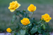 Yellow Rose In Outdoor Rose Flower Garden. Yellow Garden Rose Against Soft Green Background With Shallow Depth Of Field. Beautiful Bush Of Yellow Roses In A Spring Garden. Rose Garden.