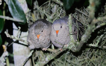 Male And Female Common Ground Dove Birds - Columbina Passerina - Roosting Overnight Together In An Oak Tree With Spanish Moss