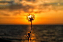 Close-up Of A Dandelion On The Background Of A Sunset In The Sea. Beautiful Seascape. For Posters, Calendars.