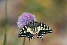Swallowtail Butterfly Opening Wings