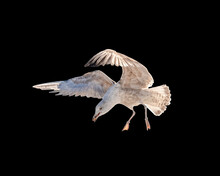 Big Seagull Flying Swooped Down To Eat Bread