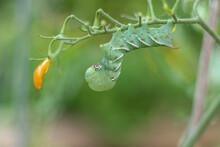 Tomato Hornworm Caterpillar (Manduca Sexta) On Tomato Plant In Garden Green Background Copy Space