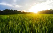 Landscape Green Rice Field Rainy Season And Sunset Beautiful Natural Scenery