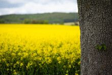 Tree Trunk Photographed In Front Of A Rapeseed Field With A Cloudy Sky In The Background