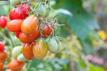 Vine Ripening Cherry Tomatoes In The Garden
