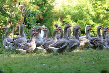 Geese Resting On The River Bank