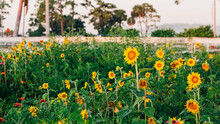 Sunflowers And Zinnias In A Flower Patch At Sunrise On The Farm
