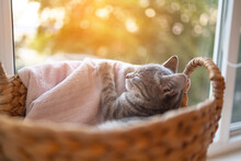 Cute Grey Tabby Cat In A Basket At Home In Living Room Near The Window