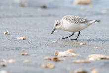 Small White Migratory Wading Bird Sanderling (Calidris Alba) Feeding On Sandy Beach During Winter Migration