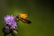 Rusty Brown Thick Head Butterfly On A Thistle