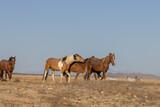 Fototapeta Natura - Wild Horses in the Utah Desert