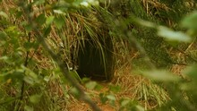 Fox Hole In The Forest, Summer Day Time