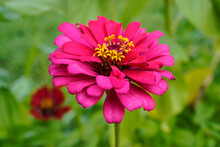 Bright, Large, Pink Zinnia Flower Growing Outdoors. Macro Image.