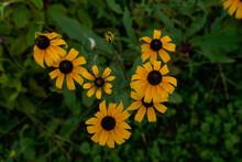 Black Eyed Susan Flowers Growing Outdoors.