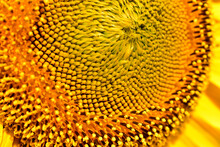 Macro Shot Of A Blooming Sunflower With Numerous Rows Of Flowers.Texture Pattern.