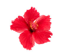 Red Hibiscus Isolated On White