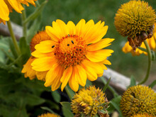 Yellow And Orange Gaillardia Mesa Blanket Flower
